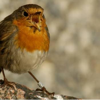Miten opin lintujen ääniä?