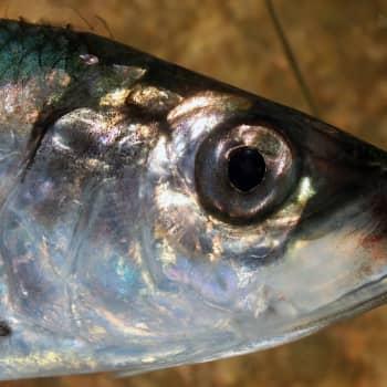 Tunnetko kaloja?