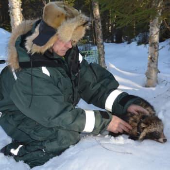Ammattimetsästäjä Juha Mäkimartilla on vastuullinen tehtävä - hänen on estettävä supikoiran leviäminen etelästä pohjoiseen