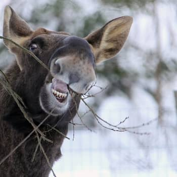 Eläinten hampaita ja ruokailutapoja