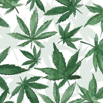 Asiantuntija: Kannabiskeskustelussa sekoittuvat iloisesti lääke- ja päihdekäyttö