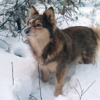Raksu-koira auttaa myyrätutkijaa