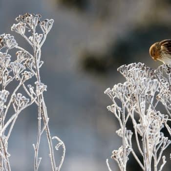 Talventörröttäjien kauneuden jäljillä.