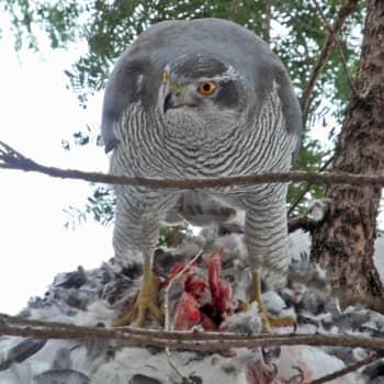 Kanahaukka on vanhojen metsien lintu
