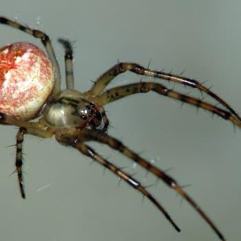 Hämmästyttävät hämähäkit
