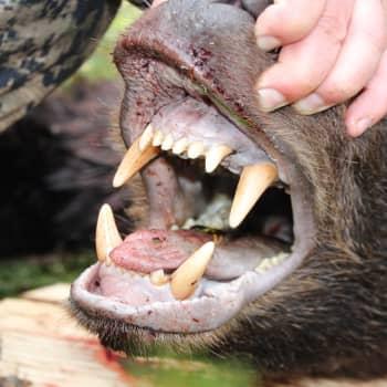 Ilomantsin karhut houkuttavat metsästäjiä kaukaakin
