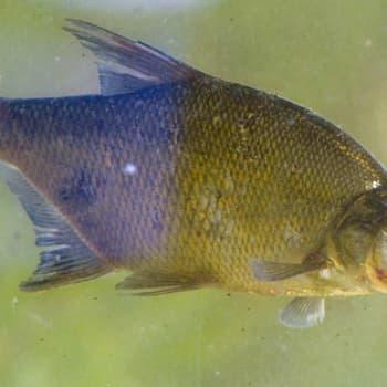 Miten vanhaksi kala voi elää?