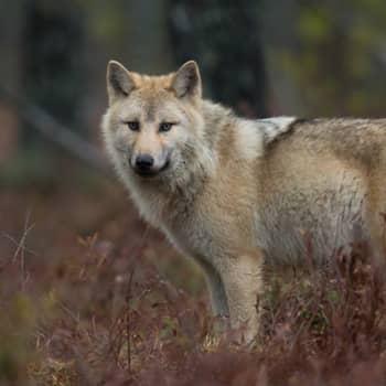 Moni susi on muuttanut länteen. Nuoret sudet etsivät Länsi-Suomesta helppoa saalista