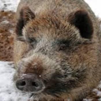 Ajantasa: Villisian levittämä afrikkalainen sikarutto olisi sianlihatuotannolle katastrofi