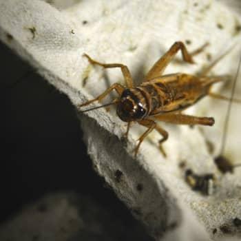 Maailmanpolitiikan arkipäivää: Hyönteisruoka - pelastaako kotisirkka maailman?