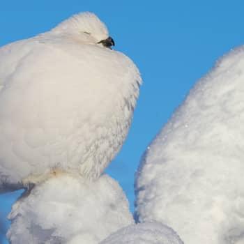 Minna Pyykön maailma: Lintuja lumen valossa