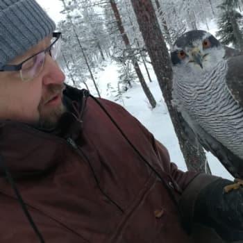 Sunnuntaivieras: Markku Kallinen ei tarvitse pyssyä jänismetsälle, hänen salainen aseensa on kanahaukka nimeltä Lotta