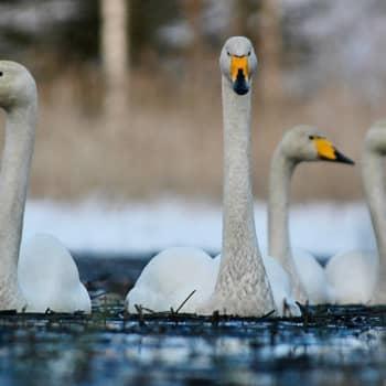 Luontoretki.: Miten laulujoutsenesta tuli kansallislintu?
