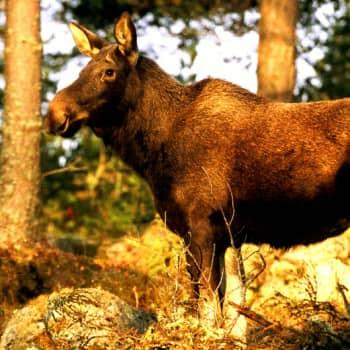 Metsäradio.: Kansallispuistot ja metsästys