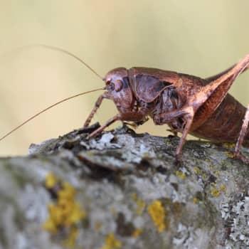 Minna Pyykön maailma: Heinäsirkkojen ja hepokattien jäljillä