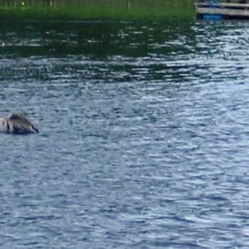 Luontoilta: Kurkien kesäinen uimareissu