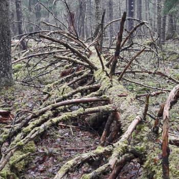 Minna Pyykön maailma: Miltä tuntuu asua vanhan metsän vieressä?