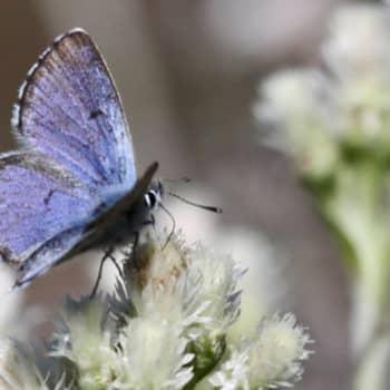 Minna Pyykön maailma: Perhostensuojelua kranaatinheittimillä