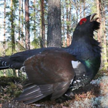 Luontoretki.: Taisteleva metso hyökkäykseen käy