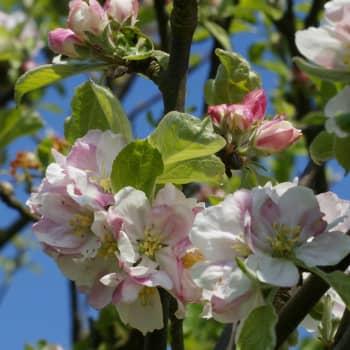 Puisevia tarinoita: Ei omena puusta kauas kiiri