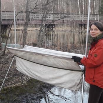 Minna Pyykön maailma: Lepakoiden kevät on salaisuuksia täynnä
