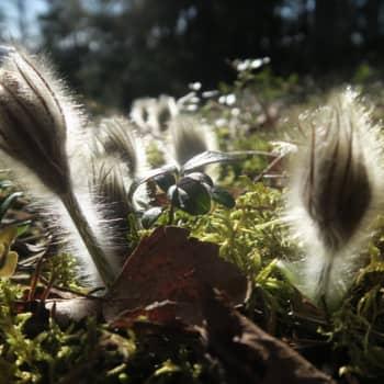 Luontoretki.: Ihastuttava Kylmänkukka