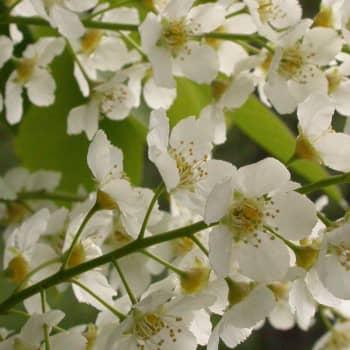 Puisevia tarinoita: Tuoksuvat tuomien valkoiset kukkaset