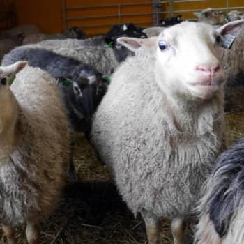 Jokapaikan Reetta: Lammastilalla Rymättylässä