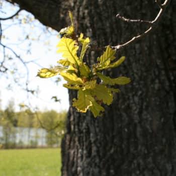 Puisevia tarinoita: Tammi, tarinoiden puu