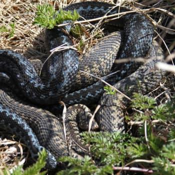 Minna Pyykön maailma: Tarinoita käärmetutkimuksen maailmasta