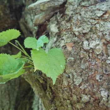 Puisevia tarinoita: Koivu, se sukkela puu