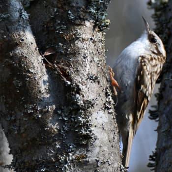 Luonto-Suomi.: Pihapiirin linnut