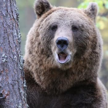 Luontoretki.: Kesy karhu Tahvo
