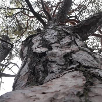 Minna Pyykön maailma: Valokuvaaja Ritva Kovalaisen kultaiset metsät