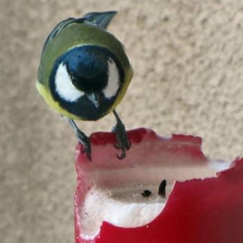 Luontoilta: Tintti herkuttelee steariinilla - onko se terveellistä?