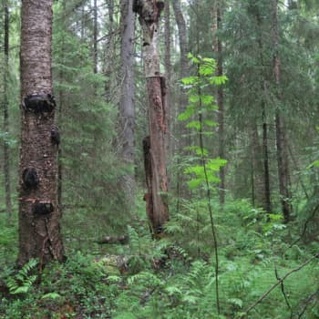 Minna Pyykön maailma: Metsien tuntemattomat