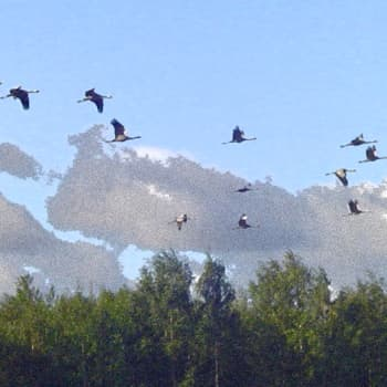 Metsäradio.: Kurkien yöpymispaikalla Siikalahdella