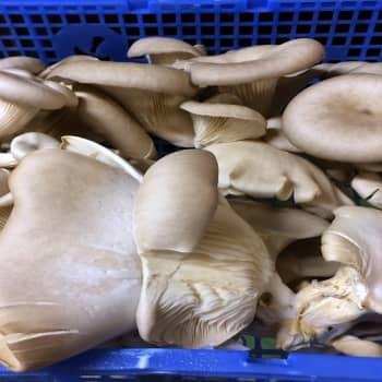 YLE Helsinki: Helsinkiläinen start up -yritys Helsieni kasvattaa syötäviä sieniä käytetyissä kahvinporoissa