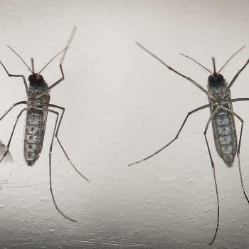 Tiedeykkönen: Zikavirus kulkee itikan ja lentokoneen kyydissä