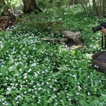 Luontoretki.: Miljoonia kukkivia karhunlaukkoja