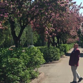 Luontoretki.: Koristeomenapuut parhaassa kukassa