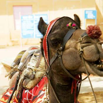 Viikon fraasirikos: Kamelit ja maatalous