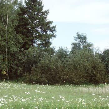 Kevättaskuruoho antaa mallia metallien kuljetuksesta kasveissa