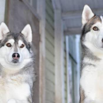 Jokapaikan Reetta: Koirasusiin tutustumassa Kouvolassa