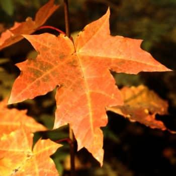 Puisevia tarinoita: Vaahtera on kaunis puu vaan ei se kukkaa kanna