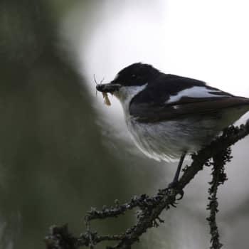 Luonto-Suomi.: Lintujen kevätmuutto -ilta