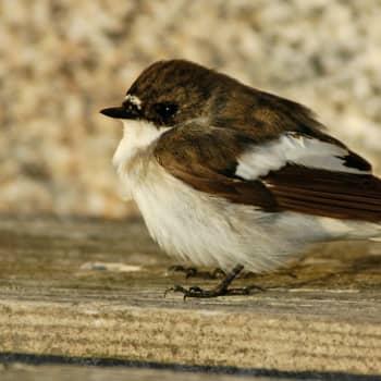 Minna Pyykön maailma: Mustvalkia kärväistempaaja ja muita lintujen nimiä