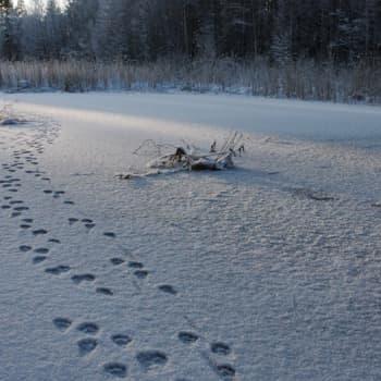 Minna Pyykön maailma: Lumijälkien seuraamisen taito