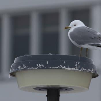 Minna Pyykön maailma: Lintujen talvi kaupungissa