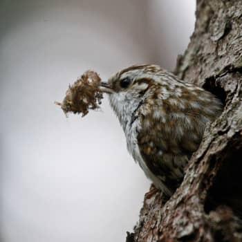 Luontoretki.: Puukiipijän talvi